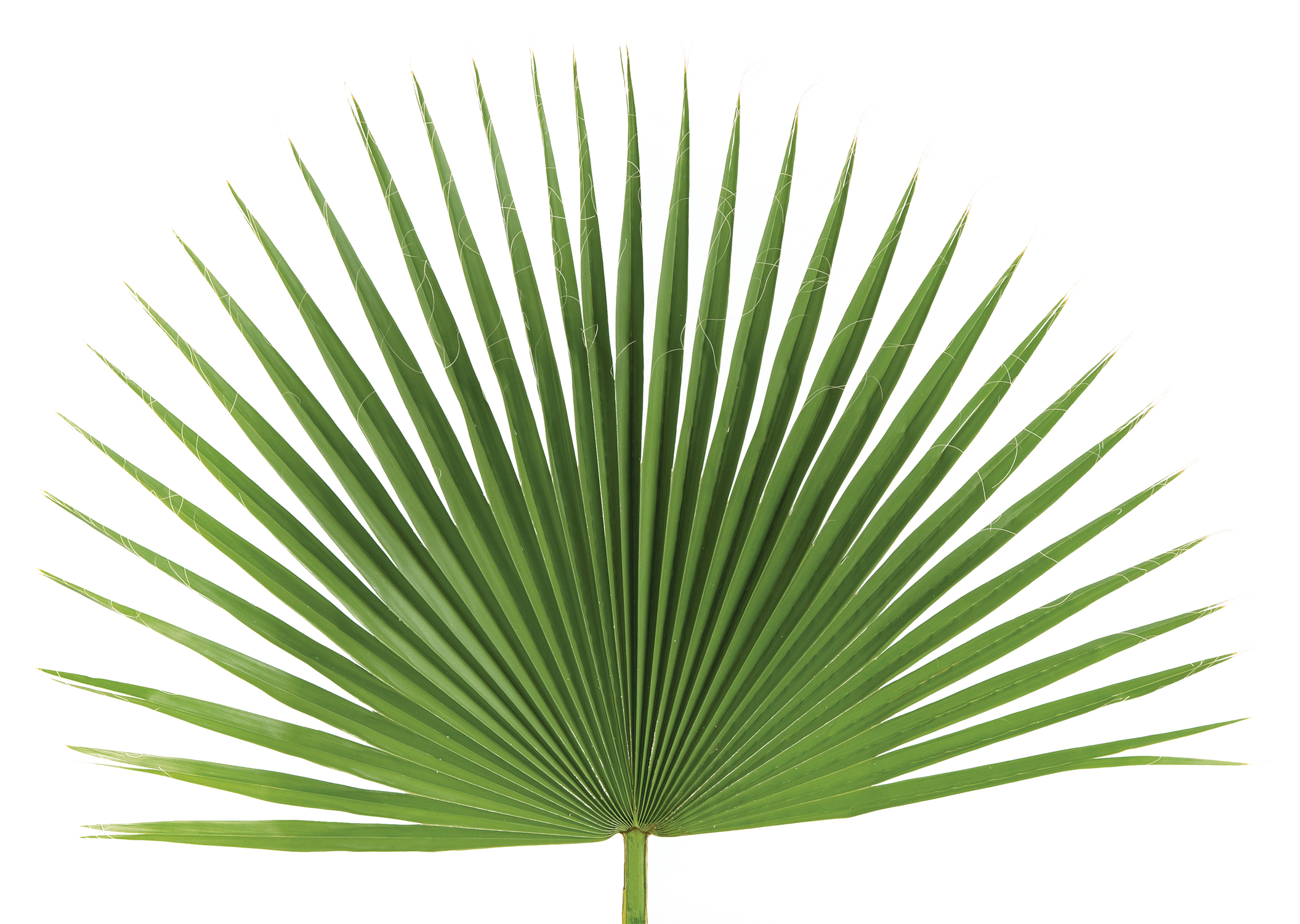 Palm Altar Decor | Fan Palm | bag of 4